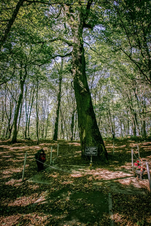 An oak where inmates were tortured and murdered at the site of the Koldichevo concentration camp